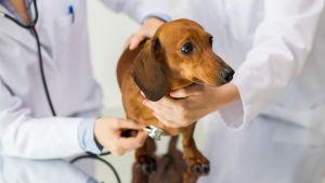 En tax-hund står på ett undersökningsbord omgiven av två veterinärer vara ev lyssnar på hundens lungor med ett stetoskop.