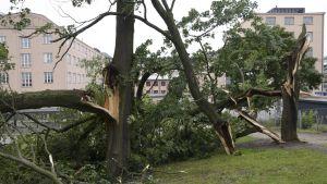 Stormen Kiira fällde träd i Kaisaniemiparken i Helsingfors 13 augusti.