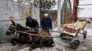 Pavel Slavchev och hans kamrat försöker få sin häst på benen igen efter att den halkat omkull i Sofiaförorten Fakulteta den 20 december 2017.