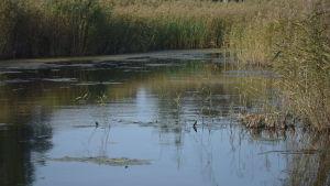 En vattenvik med vass och riklig växtlighet.