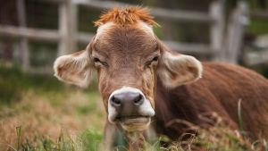 Lehmä lähikuvassa. Kuva dokumenttielokuvasta Unelmien maatila.