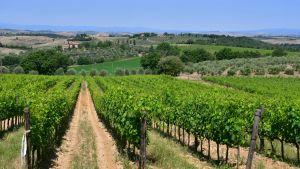 Utsikt över vinodlingar och olivlundar som tillhör vingården Fattoria del Colle i Trequanda i Toscana.