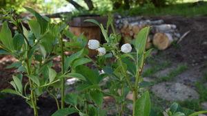 Vita blåbärsblommor på amerikansk blåbärsbuske
