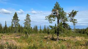 Maisemakuva Sodankylän Lokasta, metsähakkuu, jonka takaa siintää Lokan tekojärvi.