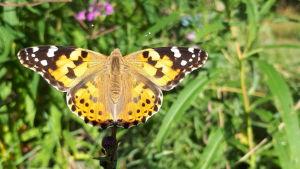 En fjäril