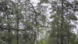 Gammal trädstam nära sjön Kalajärvi i Esbo.