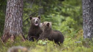 Karhunpennut leikkimässä.