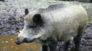 Vildsvin på Etseri djurpark