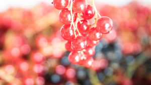 En klase med röda vinbär, svarta vinbär i bakgrunden