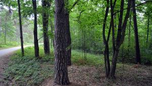 Lövträd i en parkskog.