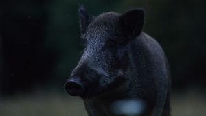 Ett vildsvin i mörkret