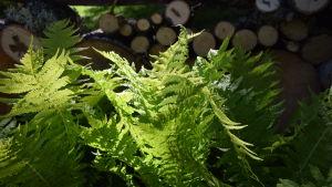 Silat solljus på strutbräkenblad