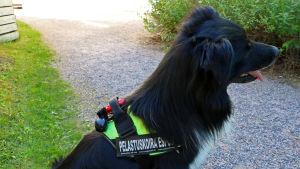 """En hund som har på sig en sele där det står """"Pelastuskoira Espoo""""."""