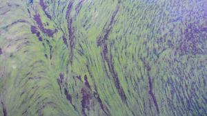 Ett tunnt skikt blågröna alger på ytan i vattnet.