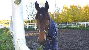 Häst i hagen i Sibbo