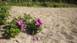 Vresros med lila blommor växer i sanden.