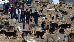 Ett skyddshem för hundar i Changchun, provinsen Jilin, i nordöstra Kina. Skyddshemmet är grundat av Wang Yan, en kinesisk miljonär och hundvän.