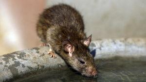 Råtta dricker ur en vattentunna.