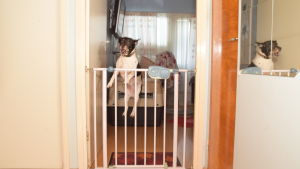 Joiku är en dansk svensk gårdshund. På bilden hoppar Joiku höga skutt.