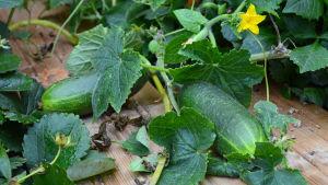 en självodlad gruka i trädgårdslandet
