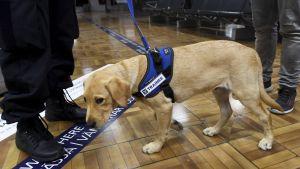 Hunden Rico kommer att jobba vid Helsingfors-Vanda flygplats och i huvudstadsregionens hamnar.