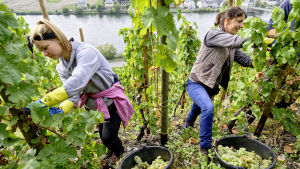 Två kvinnor klipper av vindruvsklasar från vinrankor på en sluttning vid en flod.