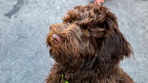 Rico-koira, joka on Australian labradoodle, 5 kk.