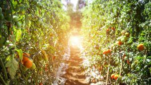 Tomaatteja kasvaa puutarhassa