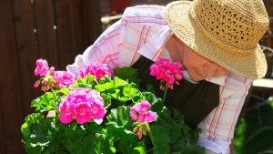 En äldre kvinna pysslar med en pelargon.