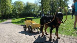 En hund som drar en liten gul kärra som småbarn kan sitta i.