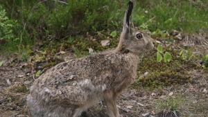 En hare sitter på marken