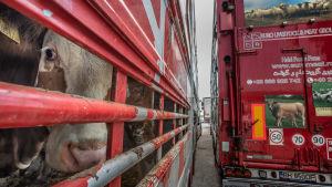 Djurtransport vid turkiska gränsen