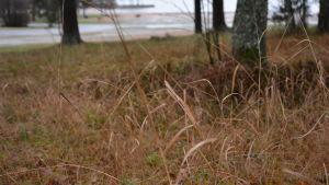Högt gräs i Runsala.