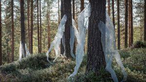 Läpinäkyvää harsomaista kangasta kiinnitettynä puihin, taideteos metsässä