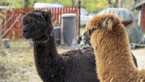 En svart alpacka som heter Chamomilla och en brun som heter Selina.