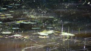 Näckrosor på vattenytan.