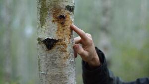Ett finger som pekar mot en björkstam med brun vätska på sig.