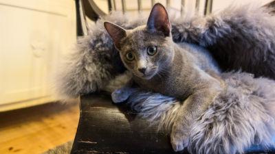 katt med astma