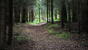 Polku metsän keskellä, lehtikuusia, hämärää metsä kaartuu yläpuolelle.