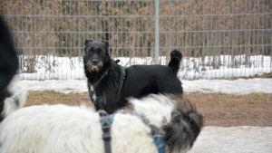 Hunden Sisko.