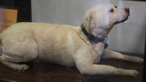 Uppstoppad hund på Tullmuseet
