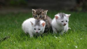 Tre små kattungar på en gräsmatta.
