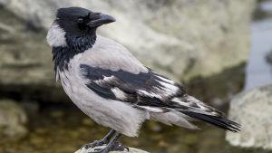 varis, jonka sulat ovat kärsineet roskaruoan syömisen takia.