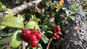Röda, mogna lingon bland fallna träd.