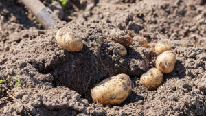 Potatis tas upp
