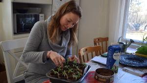 Hanna Vuorio-Wilson pysslar med sina tomatplantor.