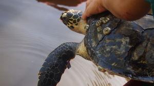 Karettsköldpadda.