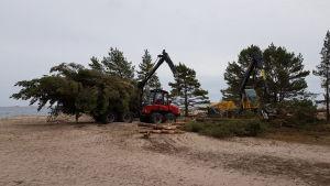 Skogsmaskiner tar bort tallar på Tulluddsstranden i Hangö.
