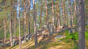 En tallskog med stora stenar.