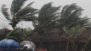 Palmer böjs i hård vind då cyklonen Amphang slår in över land i Indien.